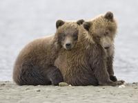 Обои для рабочего стола: Медведи
