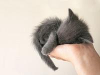 Обои для рабочего стола: Серый котёнок