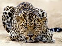 Обои для рабочего стола: Леопард