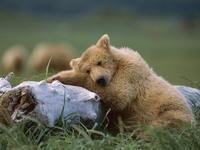 Обои для рабочего стола: Медведь