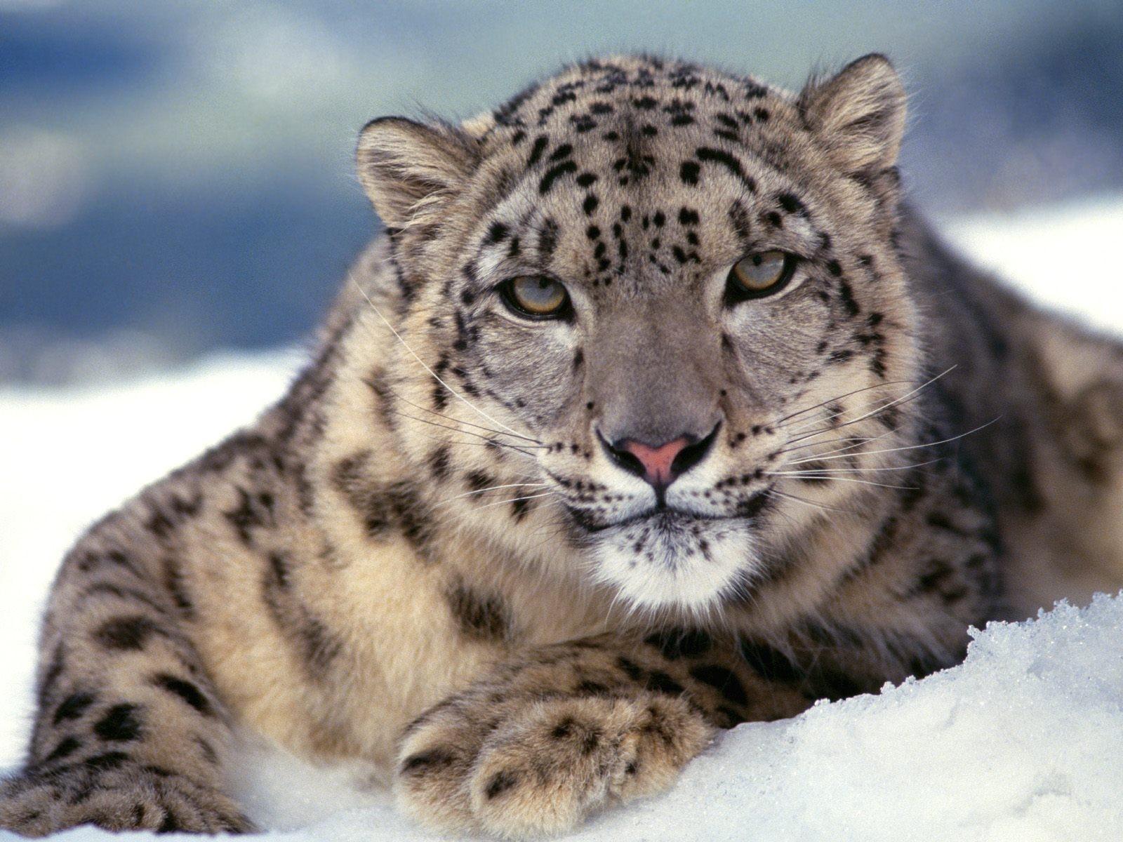 http://img.desktopwallpapers.ru/animals/pics/irbis-1600.jpg