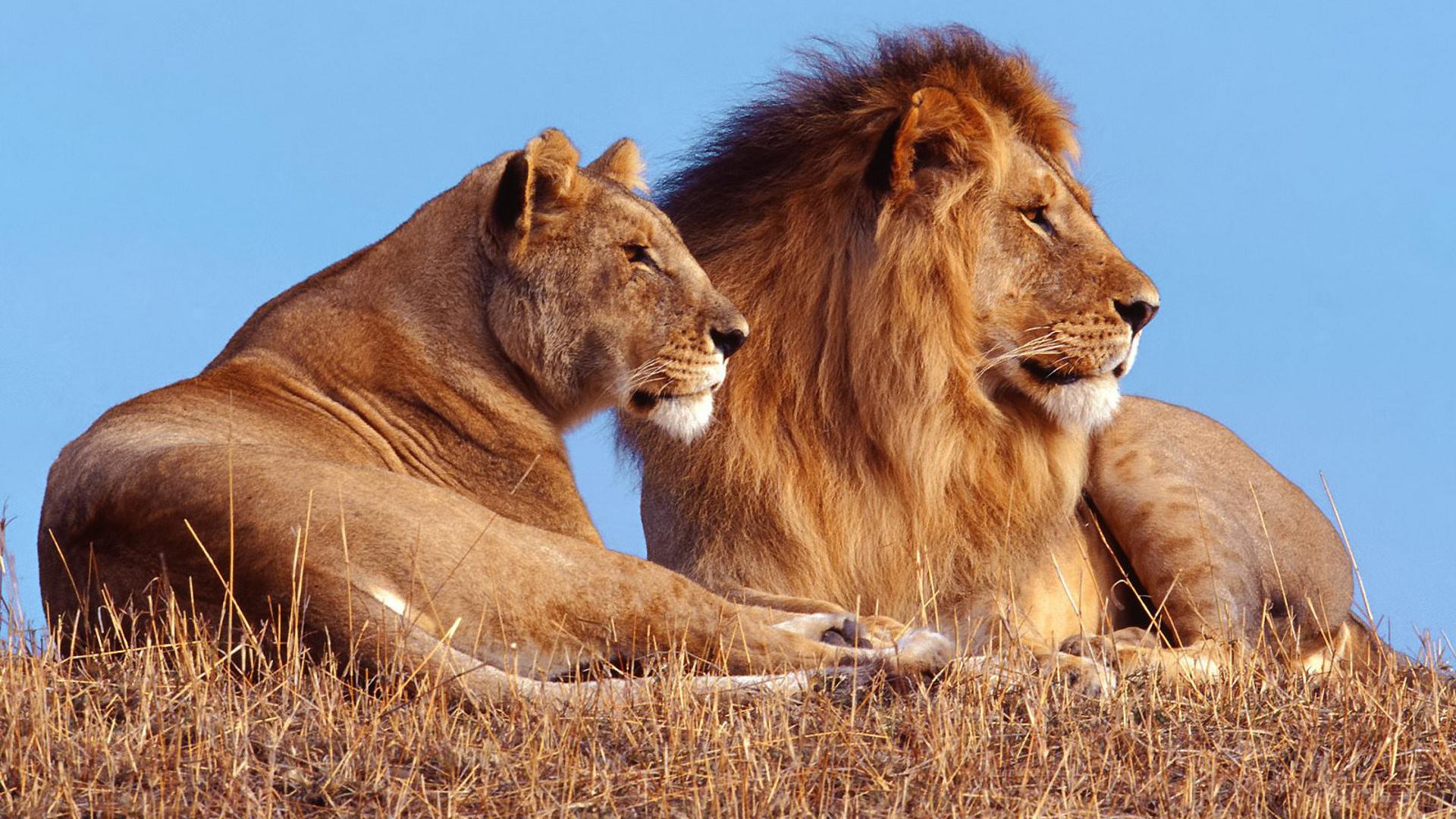 Скачать Картинки Льва На Рабочий Стол