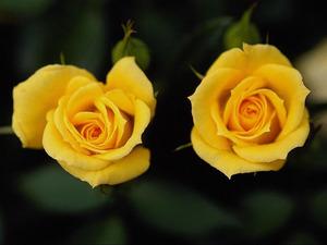 Обои Желтые розы