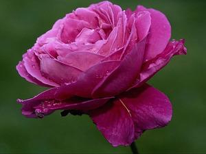 Обои Красно-фиолетовая роза