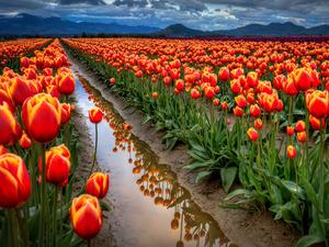 Обои Плантация тюльпанов