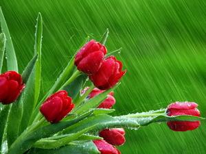 Обои Красные тюльпаны под дождём