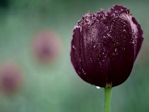 Обои Чёрный тюльпан