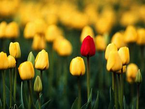Обои Поле тюльпанов