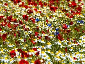 Обои Полевые цветы