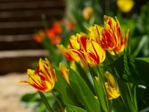 Обои Попугайные тюльпаны