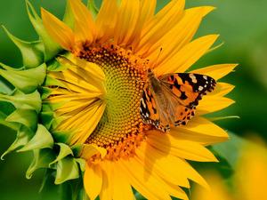 Обои Бабочка на подсолнухе