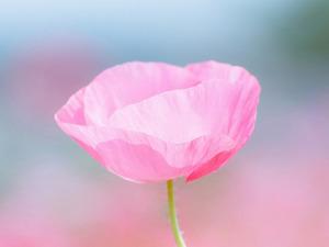 Обои Розовый мак