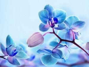 Обои Голубая орхидея