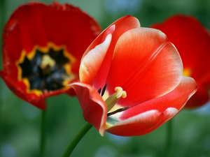 Обои Алые тюльпаны
