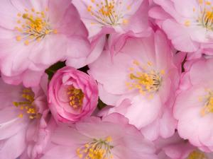 Обои Цветы сакуры