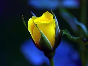 Обои Жёлтая роза