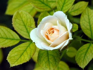Обои 1425 из раздела Цветы