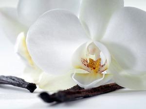 Обои Белая орхидея