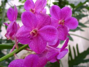 Обои Орхидея Ванда