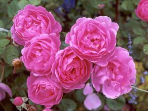 Обои 194 из раздела Цветы