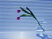 Обои для рабочего стола: Тюльпан