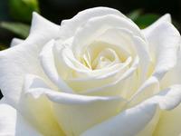 Обои для рабочего стола: Беленькая роза