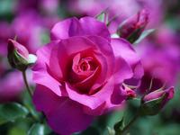 Обои для рабочего стола: Роза с бутонами