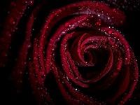 Обои для рабочего стола: Бордовая роза