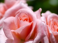 Обои для рабочего стола: Розовая нежность