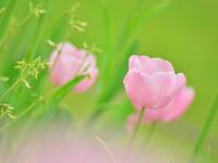 Обои для рабочего стола: Розовые тюльпаны