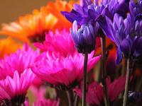 Обои для рабочего стола: Разноцветные хризантемы
