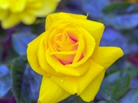 Обои для рабочего стола: Желтая роза