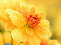 Обои для рабочего стола: Роса на жёлтом цветке