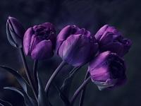 Обои для рабочего стола: Лиловые тюльпаны