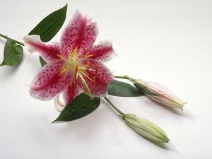 Обои Лилия сорта Muscadet
