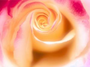 Обои Переливающаяся роза