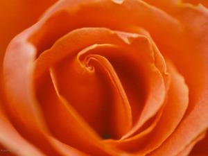 Обои Оранжевая роза