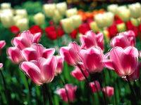 Обои для рабочего стола: Тюльпаны
