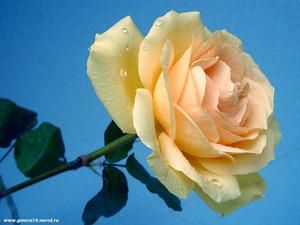 Обои Кремовая роза