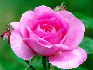 Обои Розовая роза