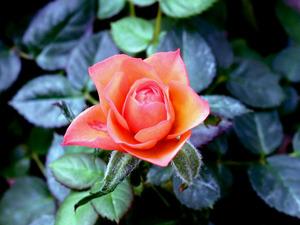 Обои Пурпурная роза