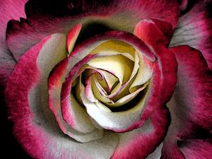 Обои Бордово-белая роза