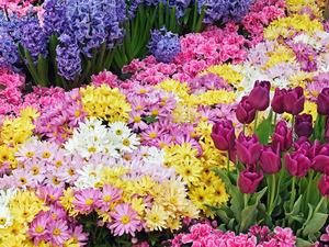 Обои Хризантемы и тюльпаны