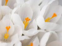 Обои для рабочего стола: Белые крокусы