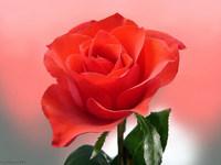 Обои для рабочего стола: Красная роза