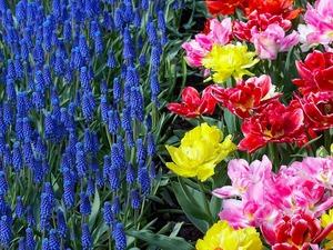 Обои Мускари и махровые тюльпаны