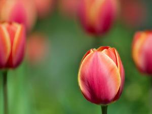 Обои Тюльпаны