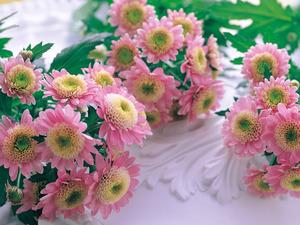 Обои Кустовые хризантемы
