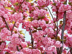 Обои Розовая сакура