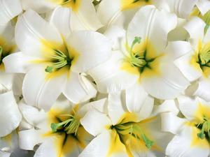 Обои Белые лилии